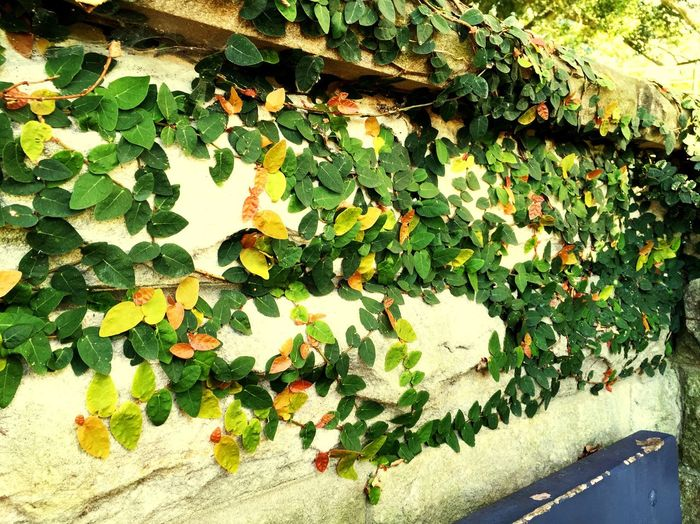 Leaves Old Antique Bench Plants Green Wall Walking Gardens Relaxing Peaceful