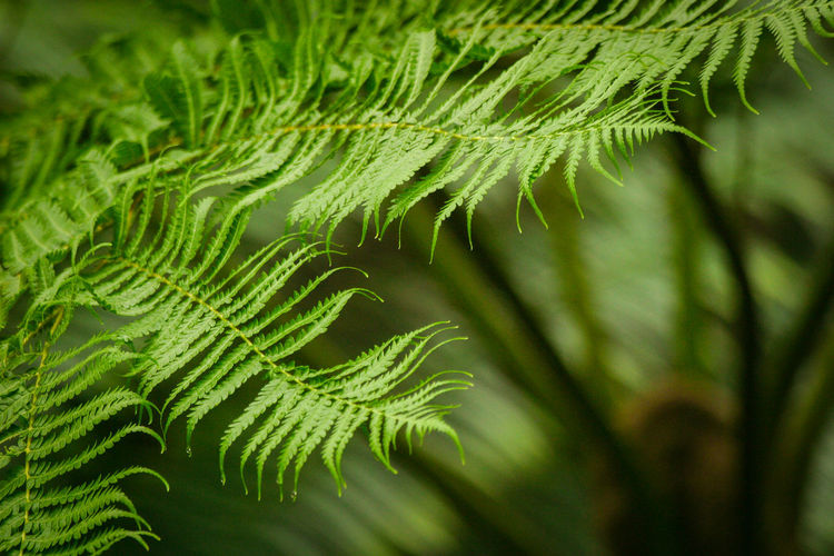 Growth Plant Green Color Leaf Plant Part Beauty In Nature Nature Close-up Focus On Foreground Day No People Fern Tranquility Outdoors Selective Focus Leaves Freshness Sunlight Greenery Park Garden Copy Space Copyspace Green Ferns