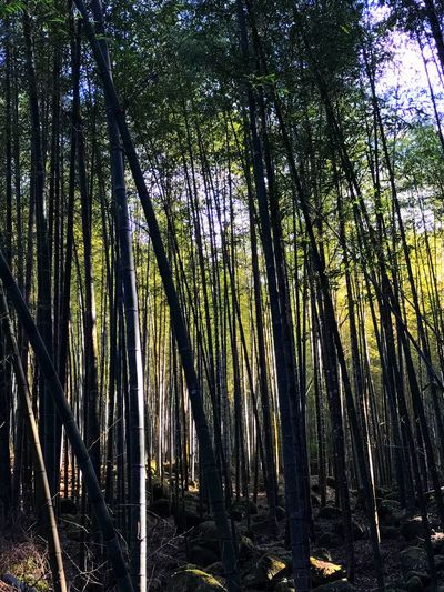 Nature Tree Growth Beauty In Nature Forest No People Tranquility Outdoors Scenics Bamboo Grove Day Sky Forest Photography Bamboo Bamboo Forest Nature Tree IPhone IPhoneography