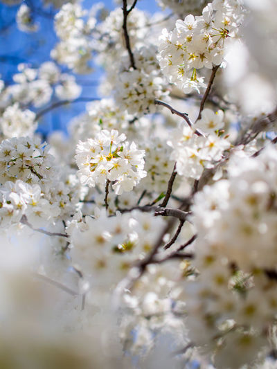 Close-up of white apple blossoms in spring