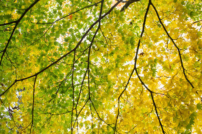 Autumn Autumn Collection Autumn Colors Green Leaf Green Yellow Gyeongju Korea Leaf Maple Leaf Outdoor Yellow Maple