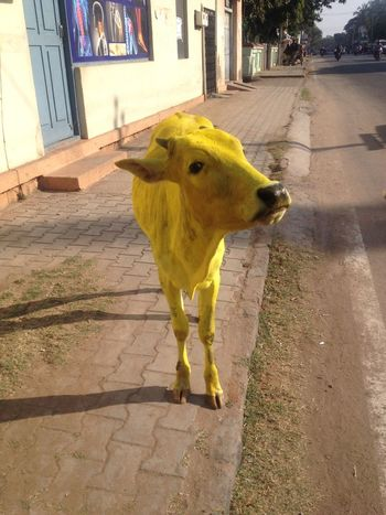 Baby ❤ Calf Curiosity Curious Discovery Festival Holy Cow Inida Mysore Street Odd Painting Strange Travel Yellow Yellow Cow