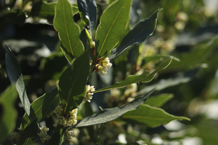 Beauty In Nature Close-up Fragility Green Color Laurel Flower Laurel Leaves Leaf Plant Part Pollination EyeEmNewHere