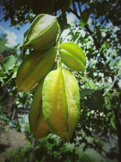 Star Fruit  Star Fruit Blossom Star Fruit Tree มะเฟือง Tree Fruit Branch Close-up Green Color Food And Drink