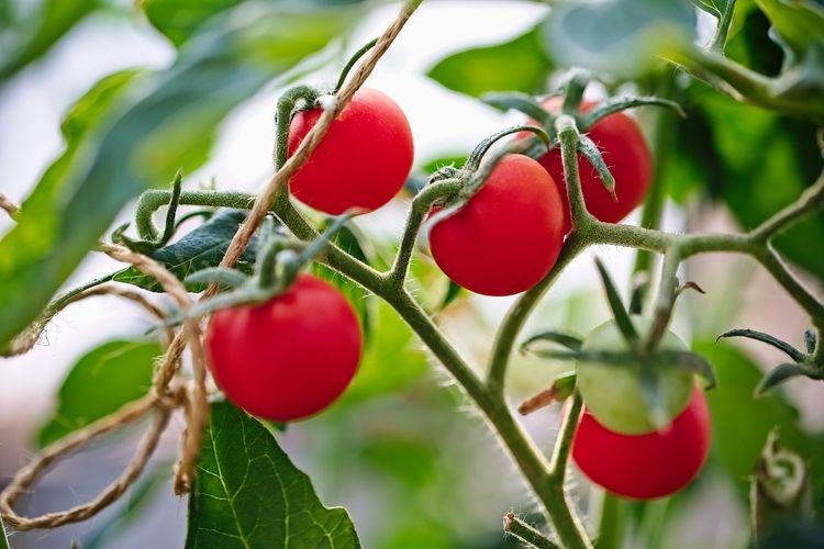Branch Cherry