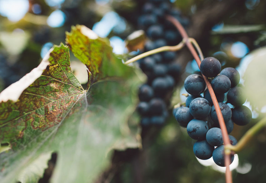 Vine Vineyard Plant Harvest Harvesting Harvest Time Autumn Food And Drink Healthy Eating Food Fruit Leaf Growth Freshness Plant Part Tree Wellbeing Close-up No People Day Focus On Foreground Nature Selective Focus Grape Berry Fruit Ripe Outdoors Winemaking Plantation