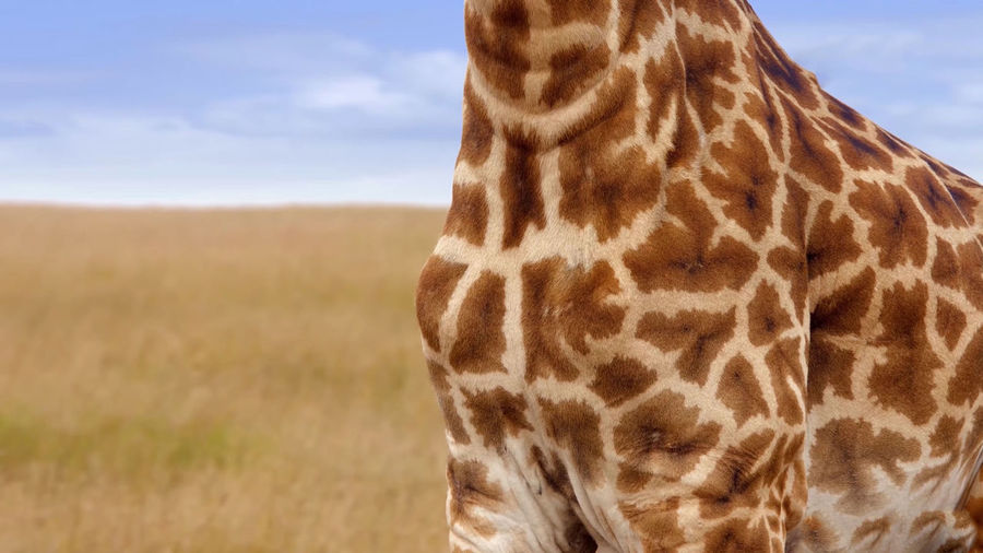 Close-up of a giraffe against sky