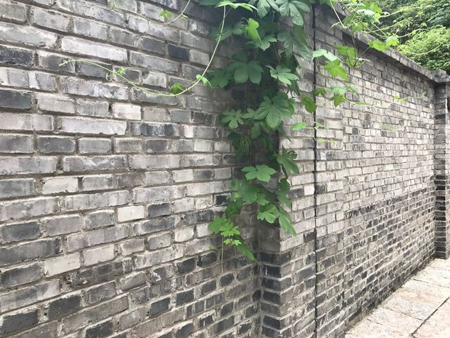 Brick Wall Wall - Building Feature Architecture Built Structure Building Exterior Architecture Beauty In Nature Wall Ivy Green Color No People Nature Outdoors Exterior Live For The Story Art Is Everywhere Out Of The Box IPhoneography 非紅杏的專屬🇨🇳出牆春藤