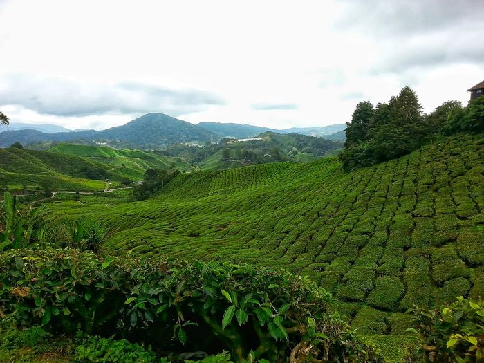 green everywhere Cameron Highlands Tea Plantation  Tea Plant Nature Growth Agriculture Day Green Color Outdoors Tree Close-up Water Tea Crop Sky Rural Scene Freshness Beauty In Nature No People