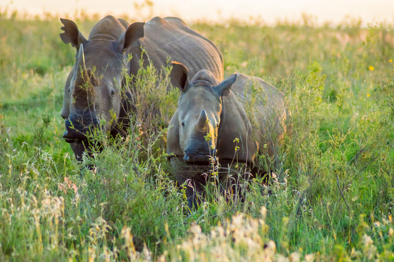 Animal Animal Themes Mammal Animal Wildlife Group Of Animals Animals In The Wild Vertebrate Two Animals Herbivorous Safari Nature Rhinoceros NairobiKenya Nairobi National Park African