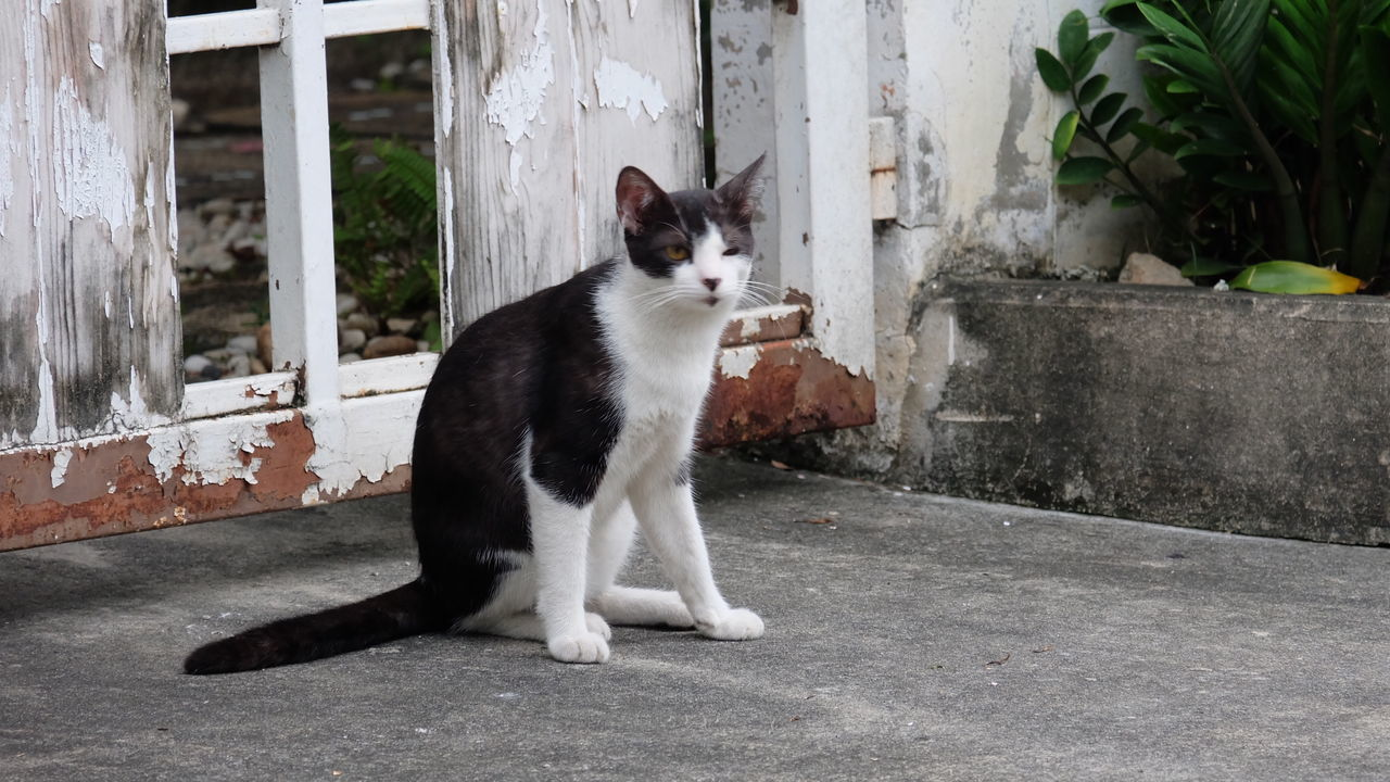 domestic cat, one animal, pets, domestic animals, animal themes, feline, mammal, sitting, day, no people, outdoors
