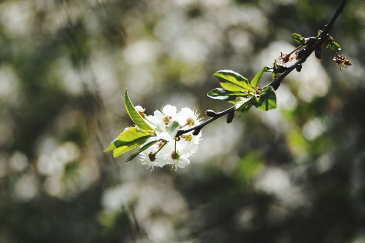 Bokeh Bokeh Photography Tree Flower Branch Leaf Twig Close-up Plant Apple Blossom Apple Tree Blossom Plant Life Botany Spring Flower Head Leaves In Bloom