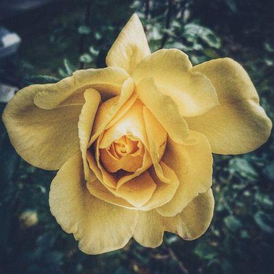 ????Gül - Rose ?????? Rosé Flower Flowers Vscocam