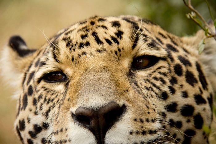 JAGUAR Bigcats Wildlife