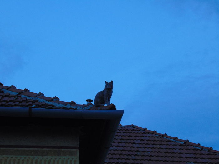 Low angle view of cat on roof against blue sky