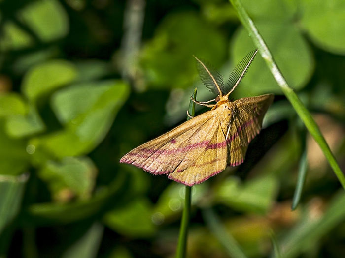 A Chickweed Geometer resting on a twig. Invertebrate Insect Animal Wildlife One Animal Animals In The Wild Animal Plant Animal Themes Beauty In Nature Plant Part Green Color Leaf Close-up Animal Wing Nature Growth Outdoors Moth Chickeweed Geometr Haematopis Grataria Geometridae Entomolgy Macro Colorful Natural