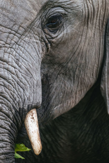 Close up view of an african elephant