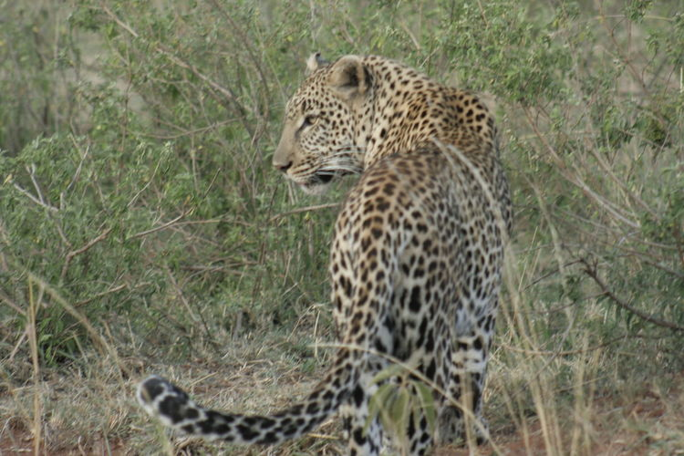 A Leopard ( Panthera Pardus) Chui. Leopards Are Dangerous Big Cats Leopards Are Solitary And Shy Big Cats Leopards Are Nocturnal This Photo Was Taken In Heart Of African Savanna Masai Mara Kenya.