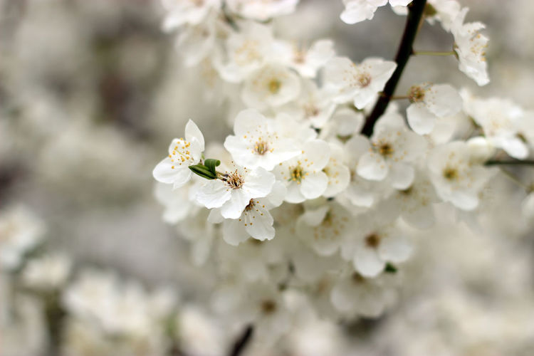Morello Cherries Sour Cherry Beauty In Nature Blossom Botany Branch Close-up Day Flower Flower Head Fragility Freshness Growth Nature No People Orchard Outdoors Petal Sour Cherry Blossoms Springtime Tree White White Color