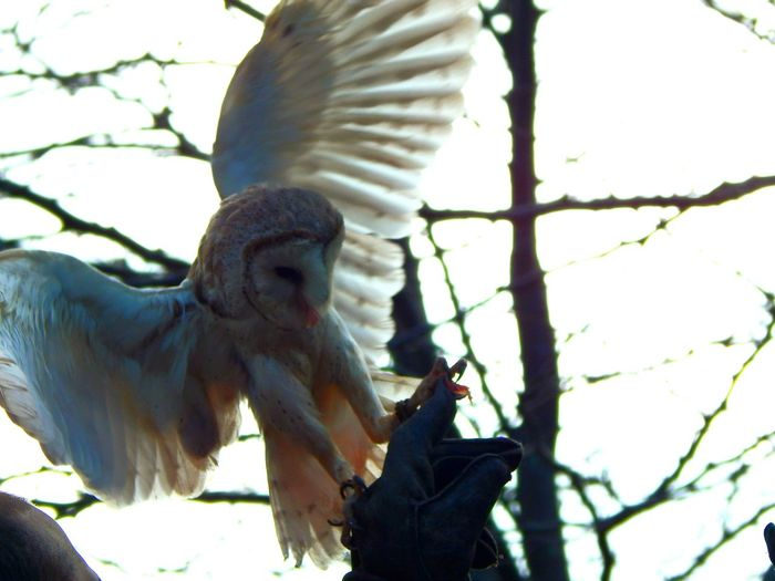 Capturing Movement Owl Barnowl Australia Hello World Keeling It Cool Hungry Love Nature Sydney