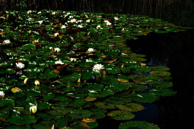 Water lilies leaves floating on lake