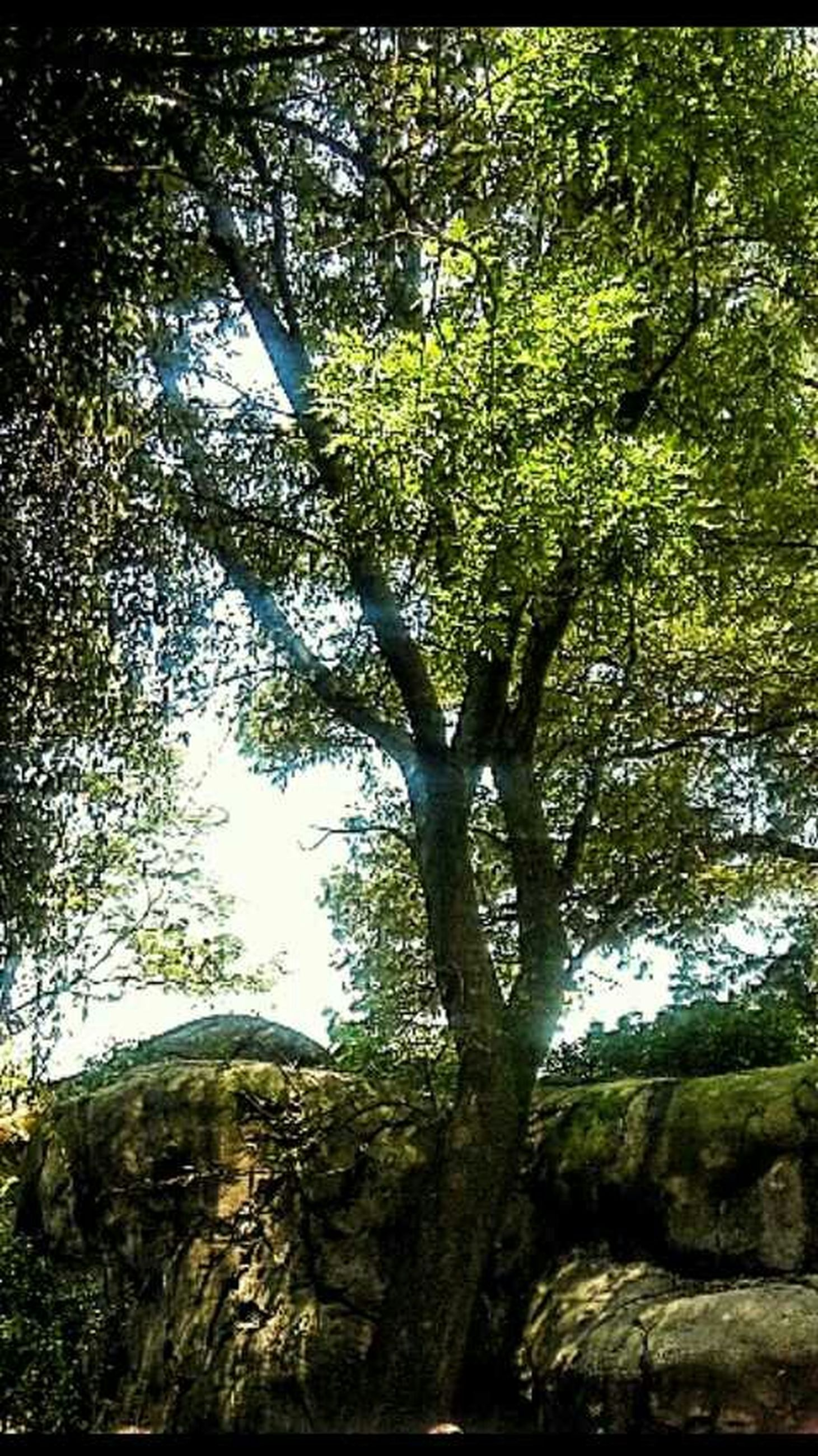 tree, growth, tree trunk, low angle view, branch, tranquility, nature, green color, forest, beauty in nature, transfer print, tranquil scene, scenics, auto post production filter, day, sunlight, sky, outdoors, no people, woodland