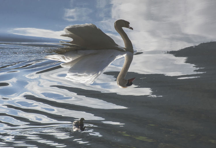 Upside Down Image Of Swan With Cygnet In Lake