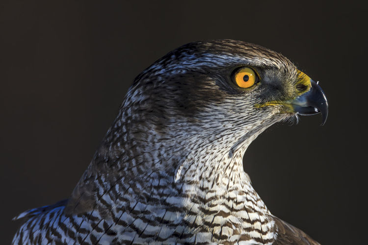 The goshawk is a stealth killer in the forest. Always looking for prey. A sharp profile, wouldn't you say? One Animal Animal Animal Themes Bird Vertebrate Animal Wildlife Animals In The Wild Close-up Looking Away Looking Beak No People Animal Body Part Bird Of Prey Focus On Foreground Studio Shot Animal Head  Eye Animal Eye Indoors  Black Background Falcon - Bird Profile View Goshawk Sweden