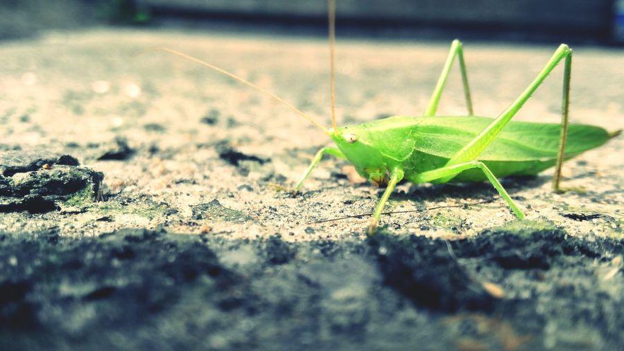 Какой-то зеленый кузнечик на луне. Nature Beatl No People кузнечик насекомое без людей