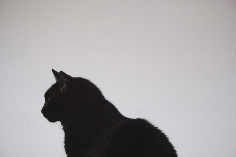 Side view of a black cat against clear sky