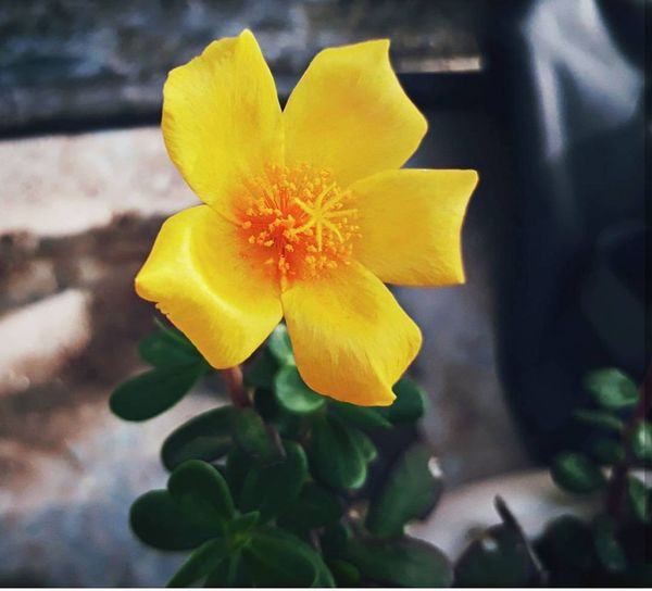Yellow Daffodil Blossom Springtime Poppy Soft Focus Multi Colored Outdoors Beauty In Nature Nature Flower Head Petal Flower No People Close-up Freshness Day EyeEm Selects EyeEm Nature Lover Tiny Flower