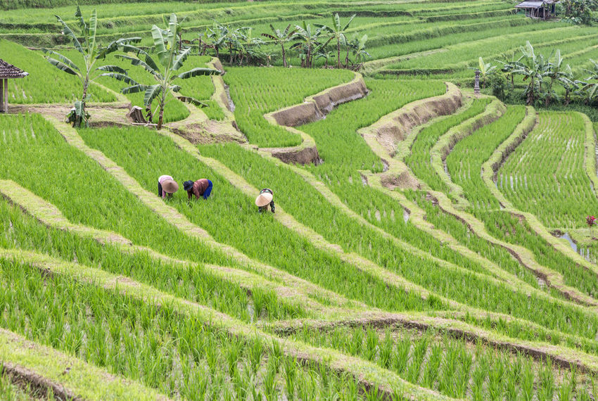 Jatiluwih rice terraces in Bali, Indonesia Agriculture ASIA Bali Day Farm Farmer Field Grass Green Green Color Growth INDONESIA Jatiluwih Rice Terrace Landscape Men Nature Outdoors Real People Rice Paddies Rice Paddy Rural Scene Terraced Field Travel Tree Working