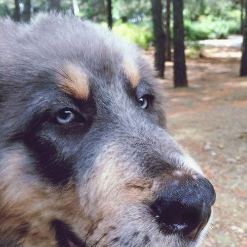 Mydog Tibetan Mastiff Cute Pets Puppy