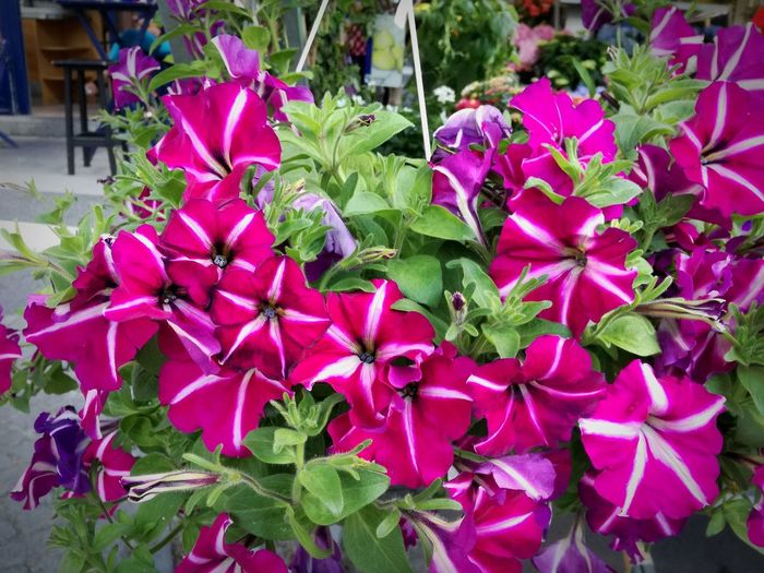 Hanging Flowers Petunias Hanging Balcony Flower Pink Petunia Petunias My Balcony Garden Plants And Flowers Flower Head Flower Petunia Leaf Pink Color Petal High Angle View Close-up Blooming Plant In Bloom Pink