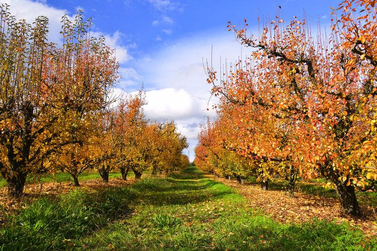 Autumn Autumn colors EyeEmNewHere Autumn Cloud Sunny Fruit Tree Orange Color Orchard Outdoors Sky Sunshine Tranquil Scene Tree First Eyeem Photo