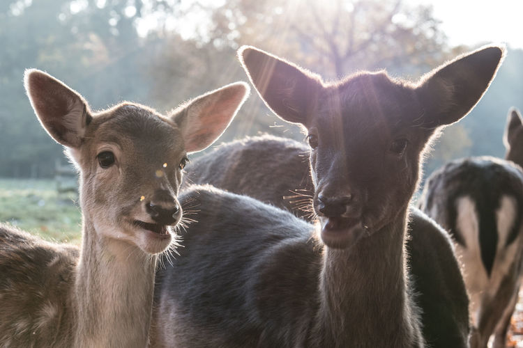 Animal Themes Animals In The Wild Close-up Day Deer Fawn Mammal Nature No People Outdoors Portrait Togetherness Young Animal