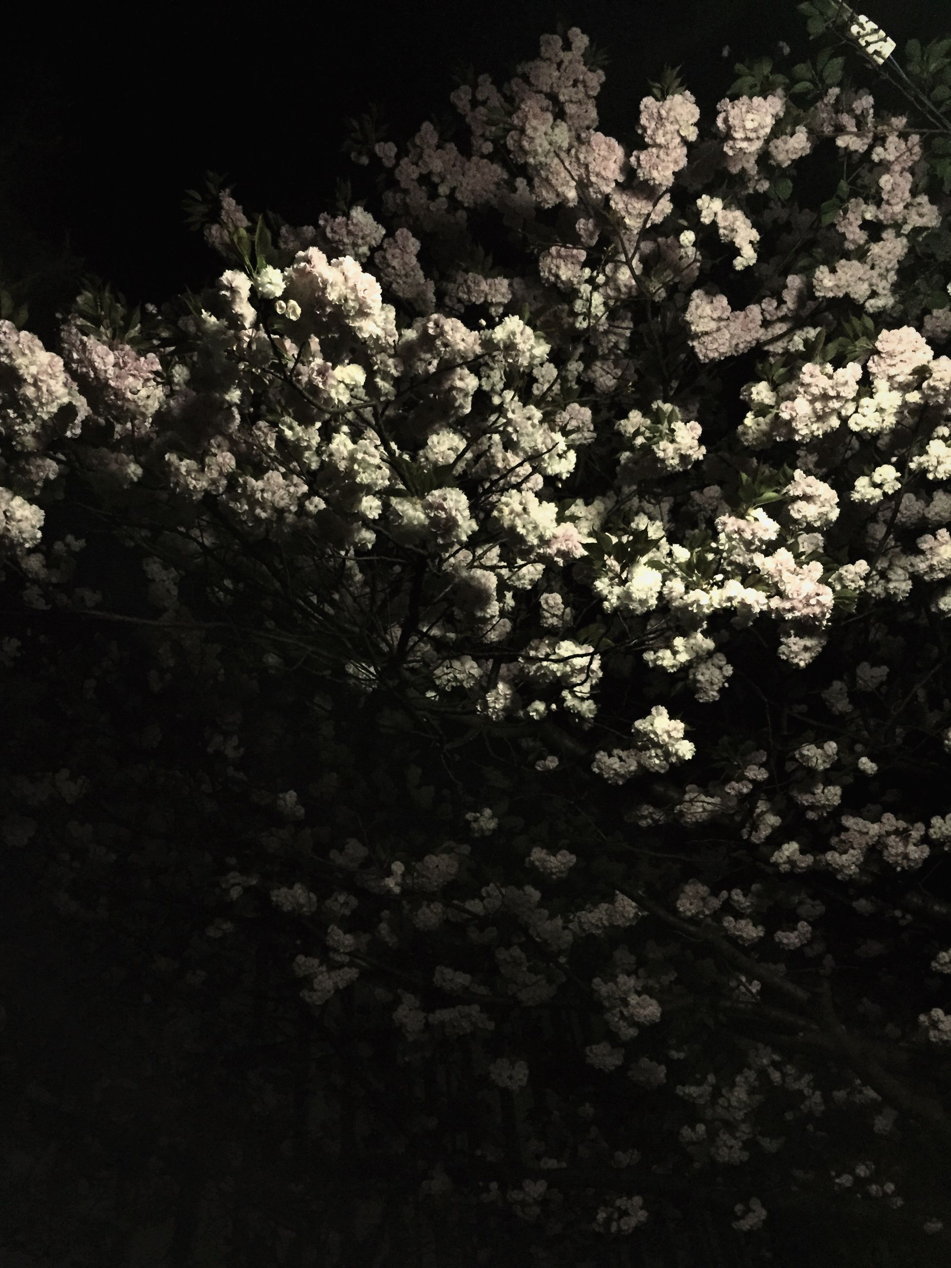 flower, growth, freshness, beauty in nature, fragility, nature, tree, white color, blossom, branch, petal, blooming, in bloom, night, plant, low angle view, springtime, outdoors, botany, no people