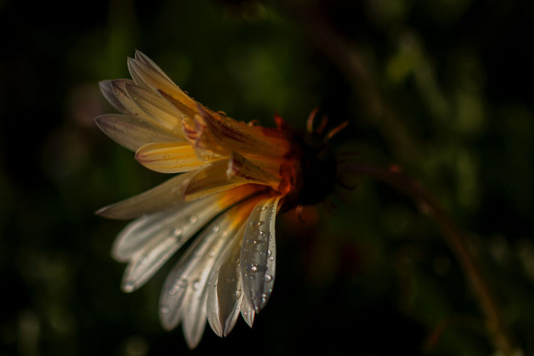 Flower Flowering Plant Plant Petal Fragility Vulnerability  Beauty In Nature Close-up Freshness Growth Flower Head Inflorescence Water Nature No People Focus On Foreground Wet Drop Pollen Outdoors RainDrop Purity