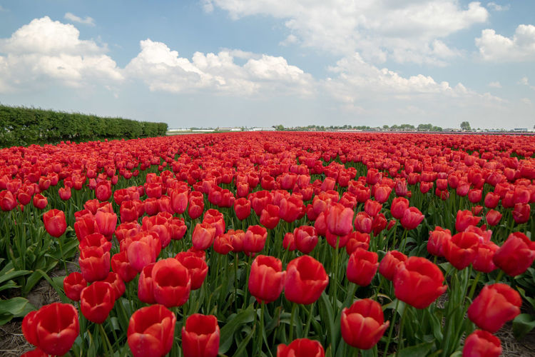 Environment Tranquility Day Rural Scene Tulip No People Flower Head Flowerbed Field Vulnerability  Fragility Land Landscape Growth Freshness Flowering Plant Beauty In Nature Plant Red Springtime Nature Cloud - Sky Sky Flower Outdoors