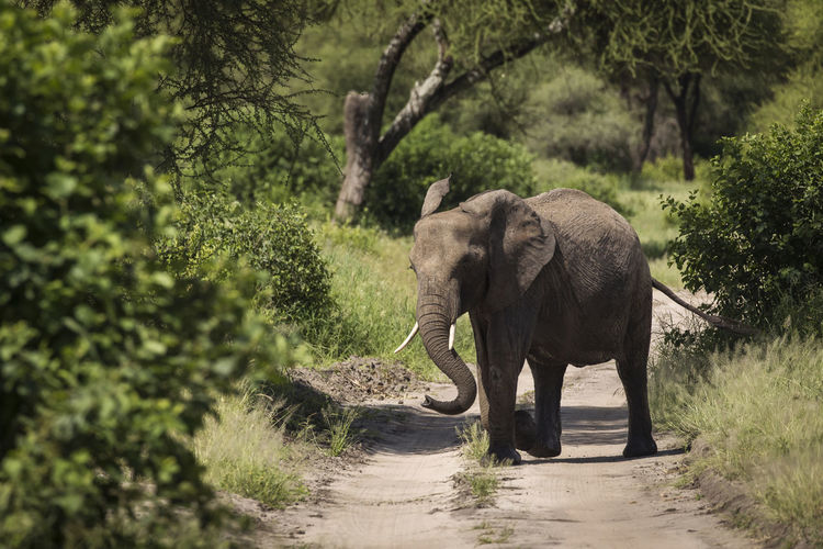 View of elephant walking on road