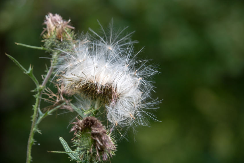 Beauty In Nature Close-up Dandelion Dandelion Seed Day Flower Flower Head Flowering Plant Focus On Foreground Fragility Freshness Growth Inflorescence Nature No People Outdoors Plant Selective Focus Softness Vulnerability  White Color