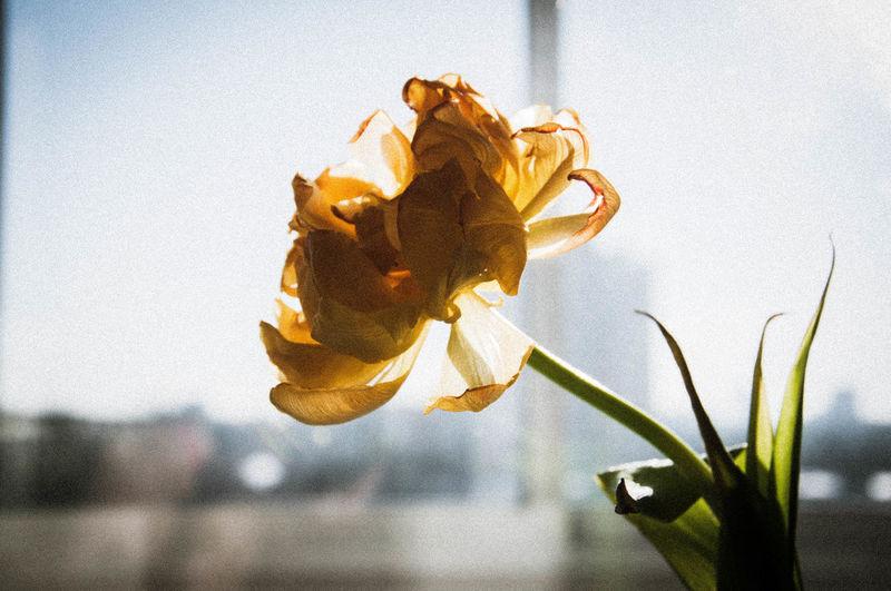 Light Tulips Close-up Flower Flower Head Sun Sun Beams Tulip