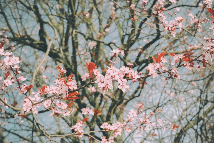 Strauchblüte Beauty In Nature Blossom Botany Branch Change Cherry Blossom Cherry Tree Close-up Day Flower Flower Head Flowering Plant Focus On Foreground Fragility Freshness Growth Nature No People Outdoors Pink Color Plant Spring Springtime Tree Vulnerability