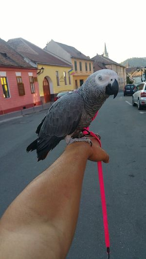 Mayu 😍😍 Human Hand Human Body Part One Person One Animal Human Arm Adults Only Animal Themes One Man Only People Architecture Bird Adult Only Men Close-up Day Outdoors Perching Sky Parrot Parrot❤ Parrot Lover Jako