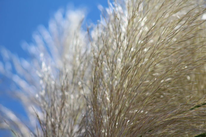 Blond Blue Close-up Day Growth Nature No People Outdoors Sky Tall Grasses