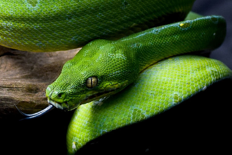 Green Tree Phython / Chondropython azureus/ Morelia Viridis HEAD Phyton Phython Green Color Animal Wildlife Reptile Animals In The Wild One Animal No People Close-up Animal Themes Nature Outdoors Day