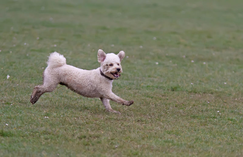 Dog running on field
