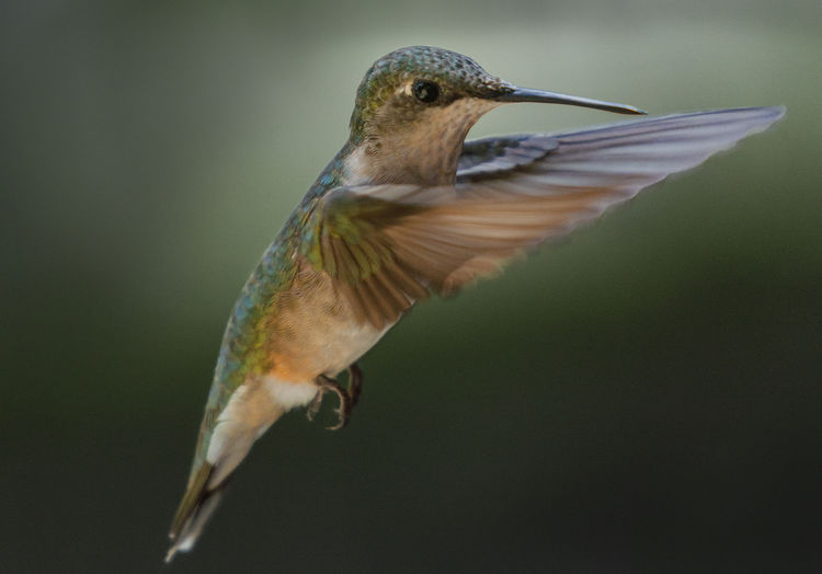 Can't get enough hummingbirds photos now that they are coming around. Hummingbird Hummingbirdphotography Sonyalpha Sony A9 Bird Birdwatching Shot With Sony A9 Bird Feeder Chronicles Rubythroatedhummingbird Rruby Throated Hummingbird