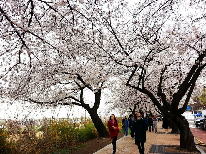 South Korea In Yeoido Hanriverpark Hanriver Tree Branch Men Women Togetherness Sky Cherry Blossom Cherry Tree Flower Tree Blossom Pink Spring