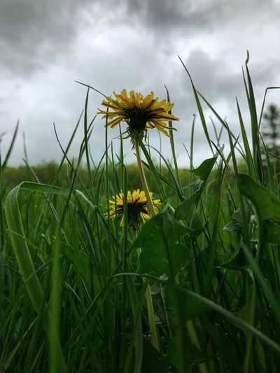 Dandelion Growth Plant Cloud - Sky Sky Flower Flowering Plant Beauty In Nature Green Color Nature Fragility Freshness Land Field Vulnerability  Flower Head Close-up No People Day